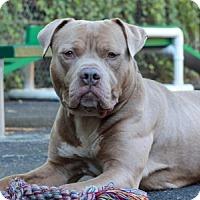 Adopt A Pet :: Arthur - Port Washington, NY