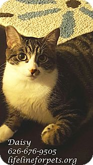 Domestic Shorthair Cat for adoption in Monrovia, California - A Young Female: DAISY