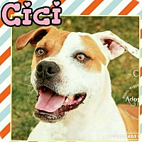 Pit Bull Terrier Mix Dog for adoption in Scottsdale, Arizona - Cici