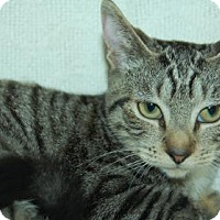 Domestic Shorthair Kitten for adoption in Bradenton, Florida - Kaye