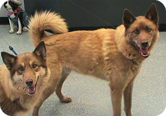 Husky/German Shepherd Dog Mix Dog for adoption in Maynardville, Tennessee - Yuma