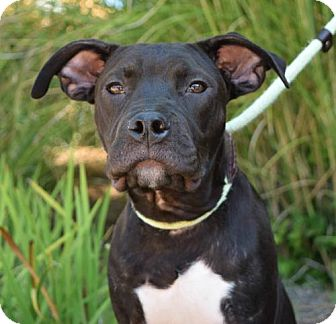 Pit Bull Terrier Puppy for adoption in Dallas, Georgia - Nugget