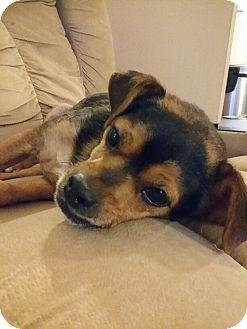 Chihuahua Mix Dog for adoption in Alpharetta, Georgia - Paco