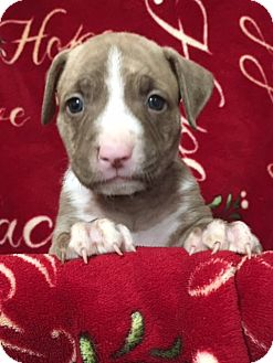 American Staffordshire Terrier/American Pit Bull Terrier Mix Puppy for adoption in San Diego, California - Yoda