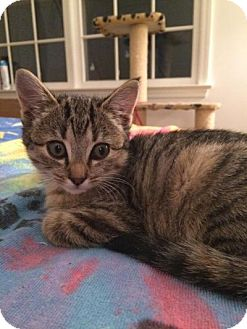 Domestic Shorthair Kitten for adoption in Breinigsville, Pennsylvania - Ramona