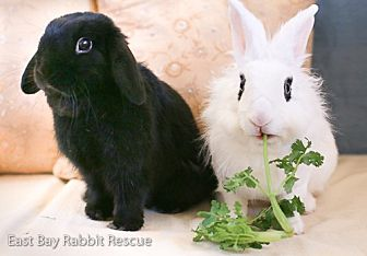 Mini Lop Mix for adoption in Livermore, California - Nikko & Sofia
