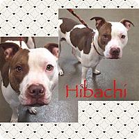 Adopt A Pet :: Hibachi - Steger, IL