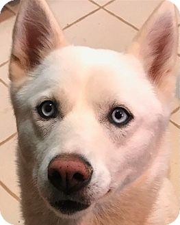Siberian Husky Dog for adoption in Yucca Valley, California - Emma