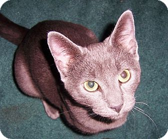 Domestic Shorthair Cat for adoption in Albany, New York - Rocky
