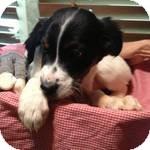Spaniel (Unknown Type)/Labrador Retriever Mix Puppy for adoption in Manchester, Connecticut - Jon Jon ADOPTION PENDING