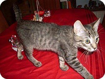 Domestic Shorthair Kitten for adoption in Kirkwood, Delaware - Bally
