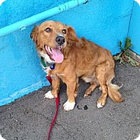 Adopt A Pet :: Snickers - Los Angeles, CA