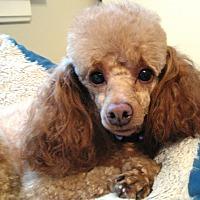Adopt A Pet :: Lyllie Mae - Dover, MA