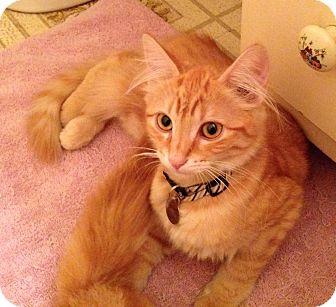 Domestic Shorthair Kitten for adoption in Monrovia, California - Orange Kitten Brothers