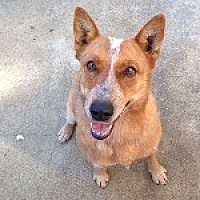 Australian Cattle Dog Dog for adoption in Pt. Richmond, California - AUBIN