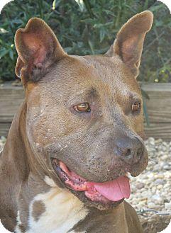 Pit Bull Terrier Mix Dog for adoption in West Babylon, New York - Martha