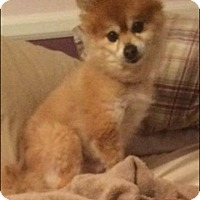 Pomeranian Dog for adoption in Gibbstown, New Jersey - Romeo