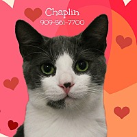 Adopt A Pet :: A Young Male: CHAPLIN - Monrovia, CA