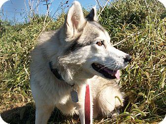 Siberian Husky Mix Dog for adoption in Augusta County, Virginia - Ringo