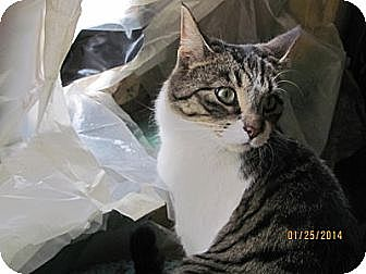 Domestic Shorthair Cat for adoption in Maywood, Illinois - Thyme