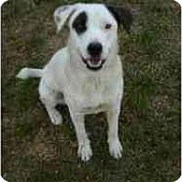 Adopt A Pet :: Shasta - Gilbert, AZ