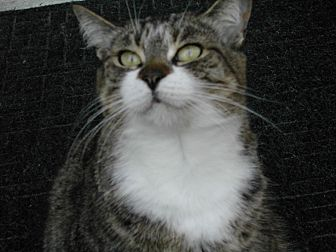 Domestic Shorthair Cat for adoption in Naples, Florida - Susie