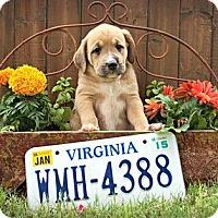 Adopt A Pet :: Virginia - Austin, TX