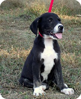 Bullmastiff/Great Pyrenees Mix Puppy for adoption in Waterbury, Connecticut - Socks/ADOPTED