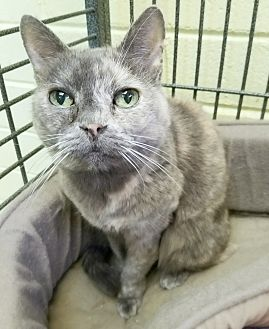 Domestic Shorthair Cat for adoption in Edwards AFB, California - Cami