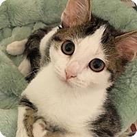 Adopt A Pet :: Angel - Hammond, LA