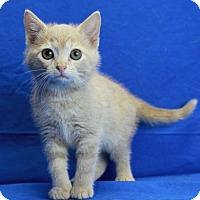 Adopt A Pet :: Cosette - Winston-Salem, NC