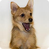 Adopt A Pet :: Scraps - Shamokin, PA