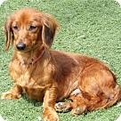 Adopt A Pet :: Daisy Lou(11 lb) Sweetest Girl