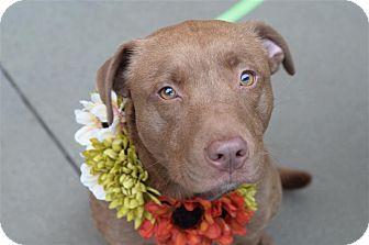 Labrador Retriever Mix Dog for adoption in Fairfax Station, Virginia - Nutmeg