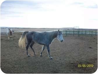 Arabian Mix for adoption in Pueblo, Colorado - Moon