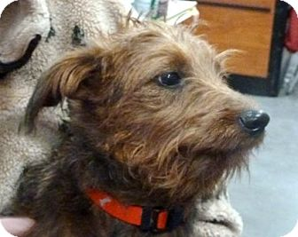 Irish Terrier Mix Puppy for adoption in Loudonville, New York - Abby