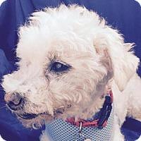 Adopt A Pet :: Chauncey - La Costa, CA