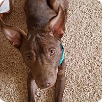 Adopt A Pet :: Choco - Homewood, AL
