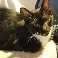Domestic Shorthair Kitten for adoption in Columbia, South Carolina - Tina