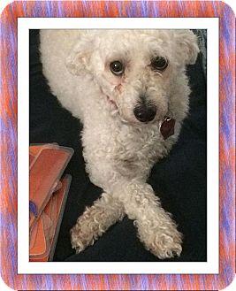 Bichon Frise Dog for adoption in Tulsa, Oklahoma - Adopted!!Hudson - FL