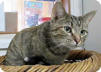 Domestic Shorthair Cat for adoption in Grinnell, Iowa - Nadia