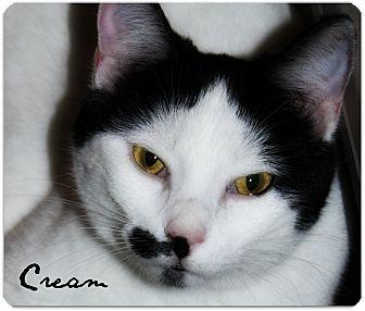 Domestic Shorthair Cat for adoption in McKinney, Texas - Cream