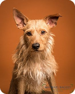Irish Terrier Mix Dog for adoption in Norwalk, Connecticut - Wally Meet Me!!!