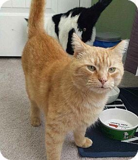 Domestic Shorthair Cat for adoption in Brattleboro, Vermont - Blondie