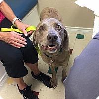 Adopt A Pet :: Gunner - Fayetteville, AR