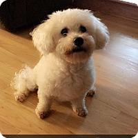 Adopt A Pet :: Lilly Shih Tzu - Chantilly, VA