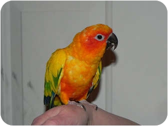 Conure for adoption in St. Louis, Missouri - Pete