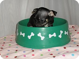 Chihuahua Puppy for adoption in Chandlersville, Ohio - Molly
