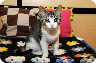 Domestic Shorthair Kitten for adoption in Farmingdale, New York - Emma