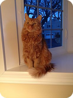 Maine Coon Cat for adoption in Pittstown, New Jersey - Lucas